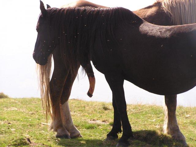 pula-calului